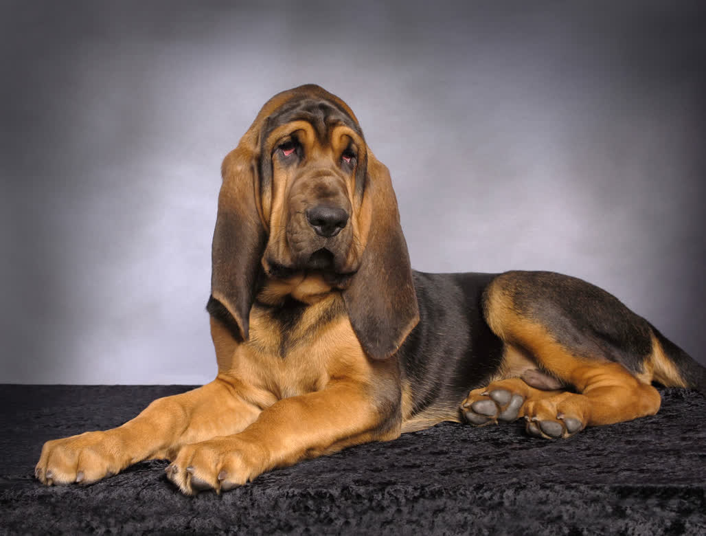 Bloodhounds – An Uncertain History